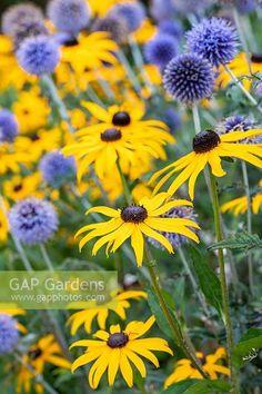 echinops ritro and rudbeckia goldstrum Herbaceous Border, Rain Garden, Black Eyed Susan, Back Gardens, Garden Planning, Beautiful Gardens, Garden Plants, Garden Design, Planting
