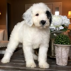 Micro Sheepadoodle puppy Feathers And Fleece - My Dogs - Chien Cute Puppies, Cute Dogs, Dogs And Puppies, Doggies, Aussie Puppies, Animals And Pets, Baby Animals, Cute Animals, Sheepadoodle Puppy