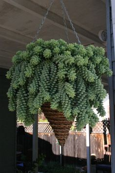 I just bought a baby burro tails plant for my hanging basket. :-)