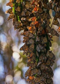 Monarchs in Santa Barbara