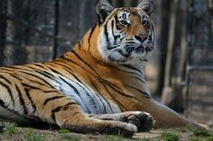 Gabby the tiger is resting from a busy holiday weekend at Noah's Ark Animal Sanctuary.  www.noahs-ark.org