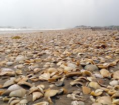Big Shell Beach, Padre Island National Seashore, Corpus Christi, Texas Been on this beach in my home town! Texas Vacations, Texas Roadtrip, Texas Travel, Texas Getaways, Big Shell, Shell Beach, South Padre Island Texas, Corpus Christi Texas, Texas Coast