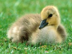 animal - Google Search duck