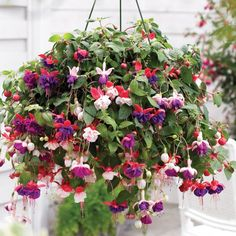 Fuchsia - trailing plants and one of the best hanging basket plants