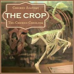 Chicken Anatomy: The Crop, Impacted Crop & Sour Crop