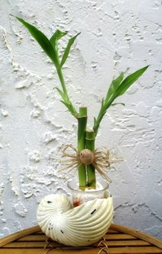 LB-HRB- DecoratewithBamboo.com Exclusive! Lucky Bamboo Plant in Shell vase! ONLY $16.99 (While supplies last)