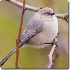 #Bushtit – Fun Facts About Your Backyard Birds – Backyard Wild #Bird Directory –