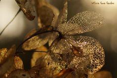dry Hedrangea Limelight