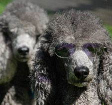 Poodles, dogs with such great personality!