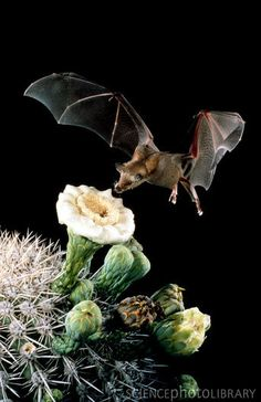 (CP) Long-nosed Bat pollinating Saguaro Cactus by Merlin Tuttle Nocturnal Animals, Animals And Pets, Cute Animals, All About Bats, Bat Animal, Wild Animals Photography, Bat Flying, Baby Bats, Cute Bat