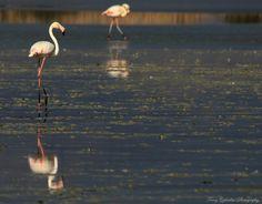 #Wildlife in #Greece Kos, Flamingo, Greece, Salt, Wildlife, Birds, Island, Nature, Photography