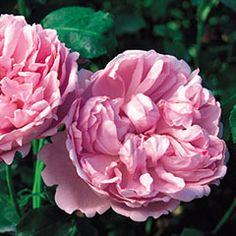 Charles Rennie Mackintosh - David Austin Roses