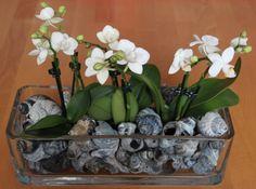 Tischdekoration: Orchideen mit Wellhornschnecken