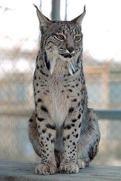 lynx                                                                                                                                                                                 Mais