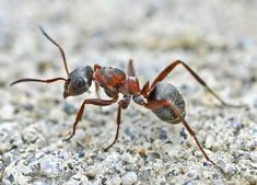 Formica rufa Wood Ants, Ant Species, Terra Nova, Bug Art, Animal Anatomy, Beautiful Bugs, Creatures, Drawings, Ants