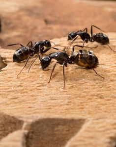 Carpenter Ants do not spread any diseases to humans, but they can be very damaging to the structure of your home. Carpenter ants tunnel through wood and in large numbers can cause major damage to your home. http://www.a1exterminators.com/carpenter-ants-damaging-home/