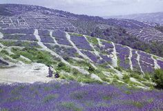 Check out these reasons to visit the Croatian Islands on your next trip Hvar - Fields of lavander. Hvar is a Croatian island in the Adriatic Sea, located off the Dalmatian coast, lying between the islands of Bra, Vis and Korula. Croatia Destinations, Croatia Travel, Jelsa Hvar, Hvar Island, Croatian Islands, Voyage Europe, Thinking Day, Felder, Lavender Fields
