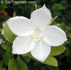 Very similar to Bauhinia acuminata, but petals ire pointed, and the plant is…