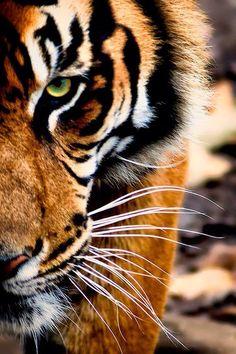 Tigre del bengala, fantastic :)