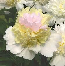 Pfingstrosen Top Brass – Google-Suche Pink Flowers, Peonies, Brass, Cool Stuff, Elegant, Spring, Garden, Summer Store, Plants