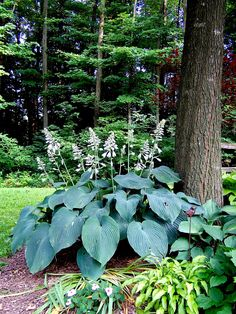 Hosta Blue Angel - a very uniform large hosta shown here in full bloom. This one is about 4' wide in full high shade. I love how the leaves cascade.