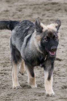 American Alsatian pup walking on the sand wallpaper: American Alsatian, a breed that has been selected to have some physical traits of the extinct dire wolf (Canis dirus) but yet to be as gentle and easily trained as the German Shepherd.