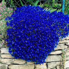 - MV - What Im Planting- Rock Cress, Cascade Blue - Garden Seeds - Perennial Ground Cover Seeds Will be growing this on top of my garden mantelpiece. Hardy Perennials, Flowers Perennials, Planting Flowers, Flower Gardening, Flowers Garden, Partial Shade Perennials, Lobelia Flowers, Rock Garden Plants, Flower Plants