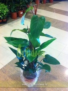 Monstera Petrus - 1.7m inaltime