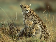 The cheetah is one of the big wild cats. The cheetah is the fastest animal in the world, taking only 3 seconds to go from 0 to 60 miles Beautiful Cats, Animals Beautiful, Beautiful Creatures, Beautiful Family, Big Cats, Cats And Kittens, Baby Animals, Cute Animals, Wild Animals