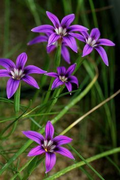 Hottest Pic hoa Violet Thoughts Utilizing their perfectly shaped hairy foliage, their own small construction and their shiny, stunni Blooming Flowers, All Flowers, Amazing Flowers, Purple Flowers, Beautiful Flowers, Indoor Flowering Plants, Garden Plants, Bulbous Plants, Purple Garden