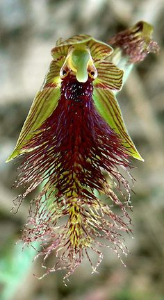 Orchid: Purple-beard-orchid): Calochilus robertsonii