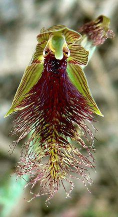 Orchid: Purple-beard-orchid): Calochilus robertsonii