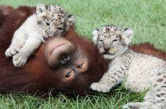 Orangutan plays with snow leopard cubs