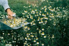 Growing & Caring for Chamomile Herb Plants Regions of your back garden that. - Anime Line Water Garden, Herb Garden, Indoor Garden, Chamomile Growing, Portulaca Grandiflora, Full Sun Perennials, Drought Tolerant Plants, Edible Garden, Trees And Shrubs