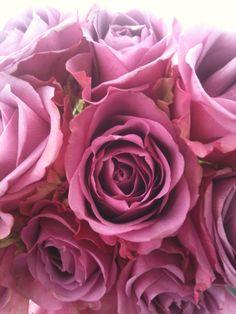 Purplepink roses