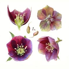 Hellebore Folio illustration agency, London, UK | Carolyn Jenkins - Watercolour ∙ Painterly ∙ Botanical ∙ Horticultural ∙ Photorealism - Illustrator