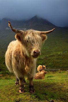 Amazing lighting in this pic. Highland Cow, Druim na Cleochd, Isle of Skye, Scottish Highlands.
