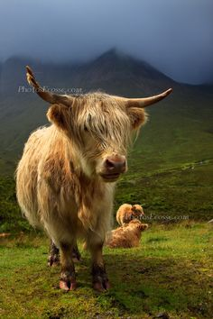 Amazing lighting in this pic. Highland Cow, Druim na Cleochd, Isle of Skye, Scottish Highlands.