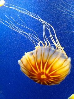 Atlanta Aquarium~Jellyfish