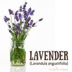 """Lavender (Lavandula officinalis), with its fragrant stalks and pretty pods of calmingly intoxicating purple flowers, is one of nature's most beloved herbs. In the world of medicinal and aromatherapy herbs Lavender's virtues abound. The root word of Lavandula is the Latin word lavare, which means, """"to wash."""""""
