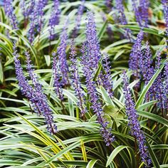 Our 17 Favorite Perennials That Thrive in Shady Gardens Lilyturf (Liriope) is an easy-to-grow favorite of the flowering shade plants. Loved for its grassy foliage and spikes of blue or white flowers in late summer, as well as its resi Flowering Shade Plants, Shade Garden Plants, Garden Shrubs, Tall Plants, Shaded Garden, Best Shade Plants, House Plants, Shade Flowers, Fall Flowers