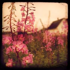 I love fireweed.  Reminds me of home.