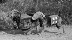Two airedale terriers, one wearing a special gas mask and the other carrying rations for a wounded soldier in World War II.  Fox Photos/Hulton Archive/Getty Images