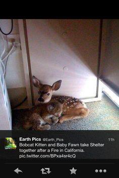 Bobcat Fawn Baby Deer Pet Deer Baby Bobcat Bobcat Kitten Bob