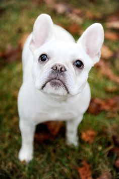 Be still my beating heart - it's the frenchie look. French Bulldog Clothes, French Bulldog Puppies, Cute Puppies, Cute Dogs, Dogs And Puppies, Doggies, Boston Terrier, Animals Beautiful, Cute Animals