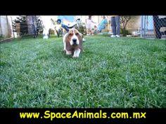 Venta de cachorros perros de raza basset hound hembras y machos  Visítenos ya en: http://www.SPACEANIMALS.com.mx Atención al cliente (01) (229) 2.60.31.86 / (01) (229) 2.98.48.78 Síguenos en: http://www.Facebook.com/Spaceanimals.Criadero  http://wwwTwitter.com/@Spaceanimals Criadero ambién te recomendamos Visitar http://www.VentadePerros.com.mx