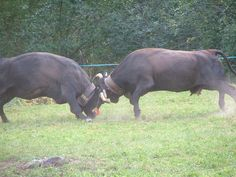 Combat de reines ( val d'anniviers, valais) Switzerland, Animals, Battle, Queen, Childhood, Beauty, Animales, Animaux, Animal Memes