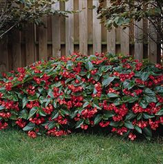 Begonia 'Dragon Wing' massed in a ground planting.