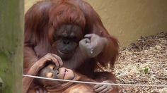 Video: #Orangutan mom playfully punches her baby's head http://lnk.al/2M6F  #animalvideos #babies #zoo