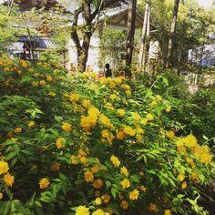 松尾大社の山吹(やまぶき)#京都 嵐山